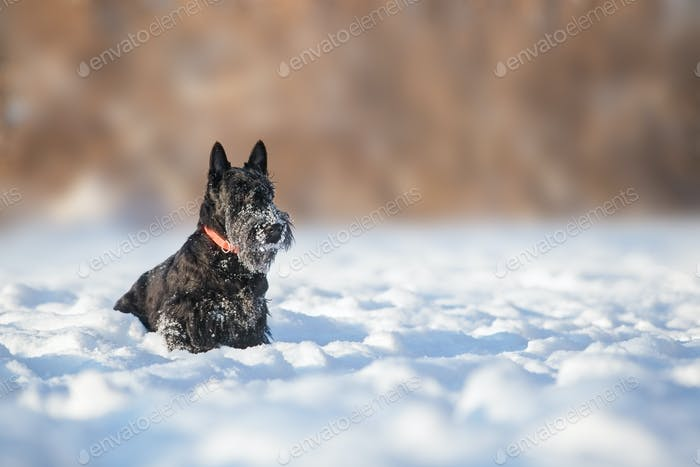 Scotch Terrier puppy for a walk on a sunny winter day