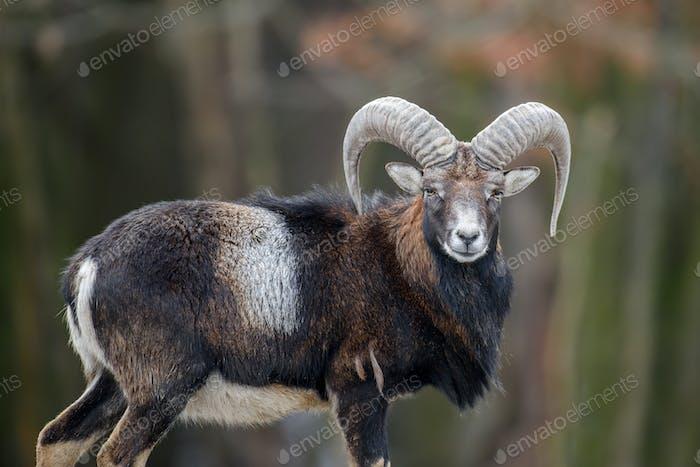 Big mouflon animal. Mouflon, Ovis orientalis, forest horned animal