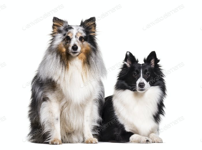 two Sheltie Dogs sitting together in a raw, cut out