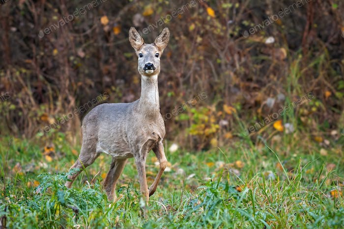Roe deer doe in autumn moving forward with leg in the air