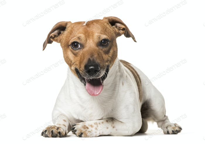 Jack Russell Terrier dog, lying and panting, cut out