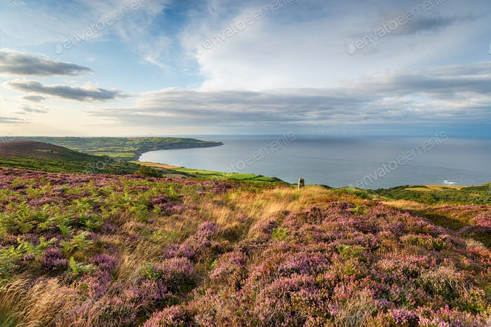 Purple heather in bloom on the North York Moors National Park in