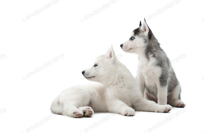 Sibirische Husky Welpen wie Wolf mit grauen und weißen Pelz