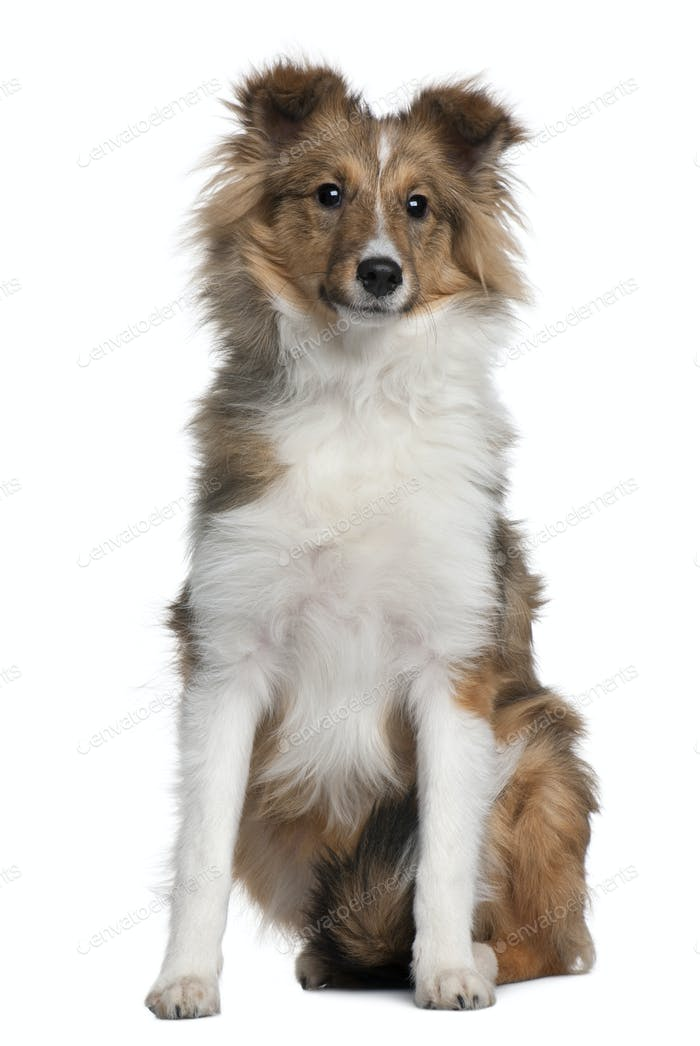 Shetland Sheepdog puppy, 5 months old, sitting in front of white background