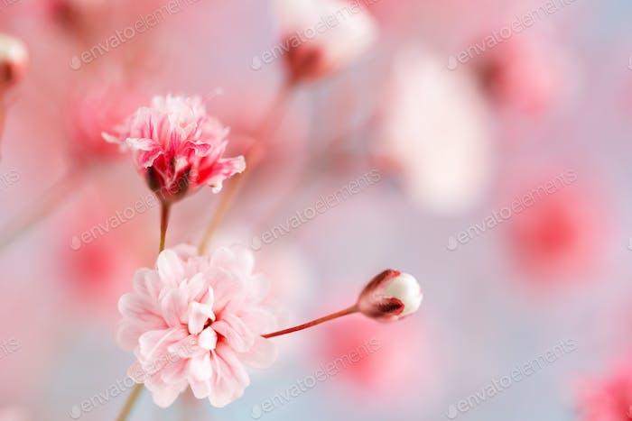 Rosa Gypsophila oder Baby Atem Blumen