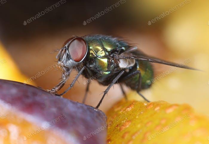 Grüne Fliege auf Fruchtscheiben Makro