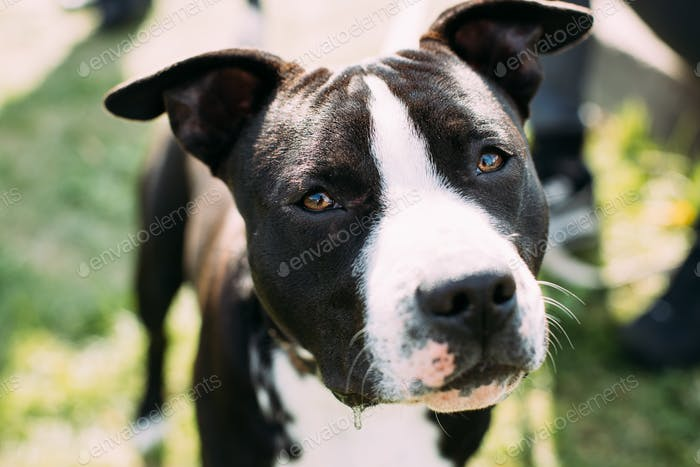 Close View Of American Staffordshire Terrier Dog