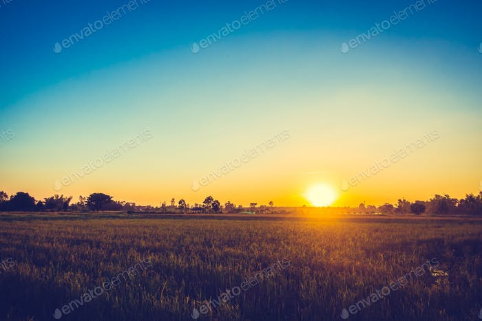 Rice field with sunset