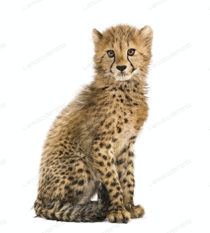 three months old cheetah cub sitting, isolated on white