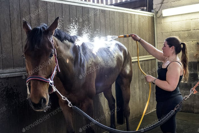Young woman standing in stable, hosing down a bay brown horse with a water hose.