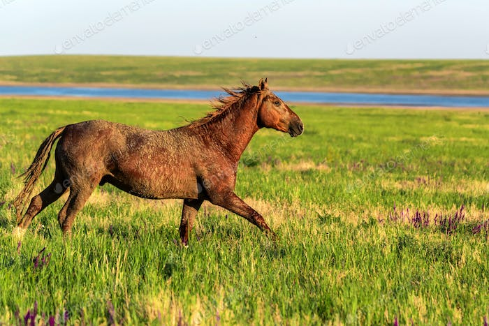 Wild horse runs in the sunlit meadow