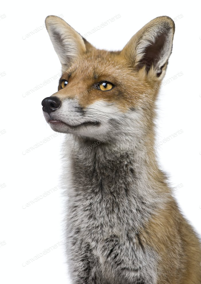 Close-up headshot of Red Fox, 1 year old, in front of white background