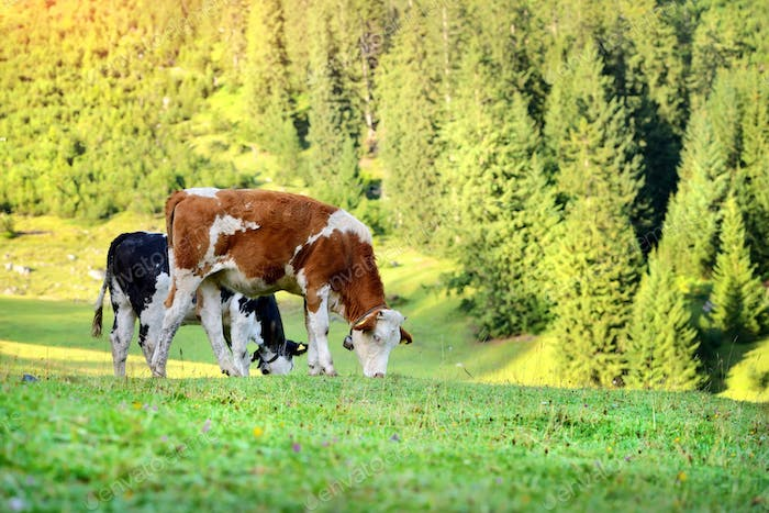 Cows grazing on meadow in mountains. Summer sunny morning