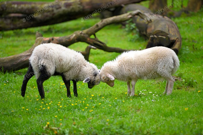 Two sheep fighting on green lawn