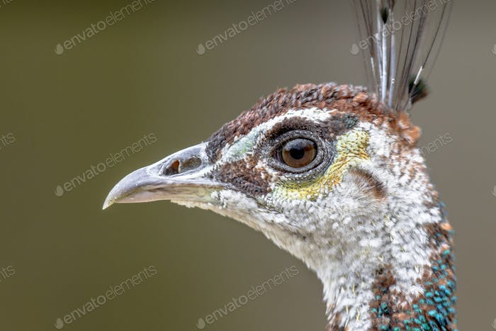 Head of female Peacock