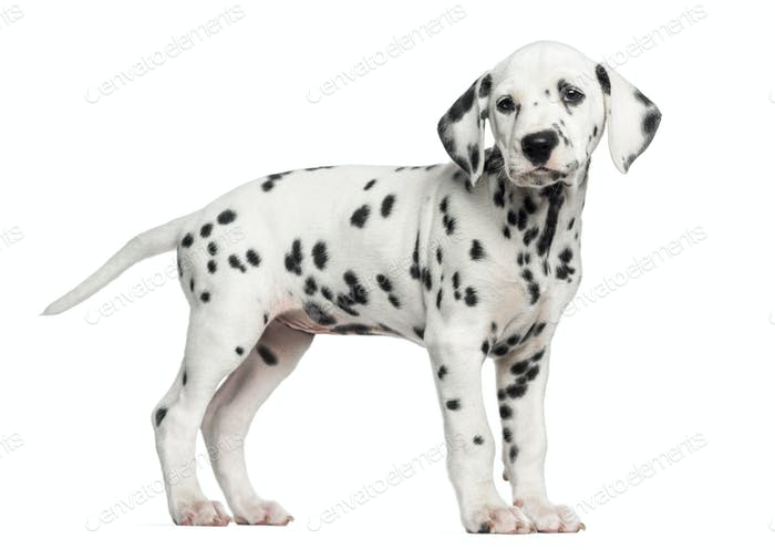 Side view of a Dalmatian puppy standing, looking away, isolated on white