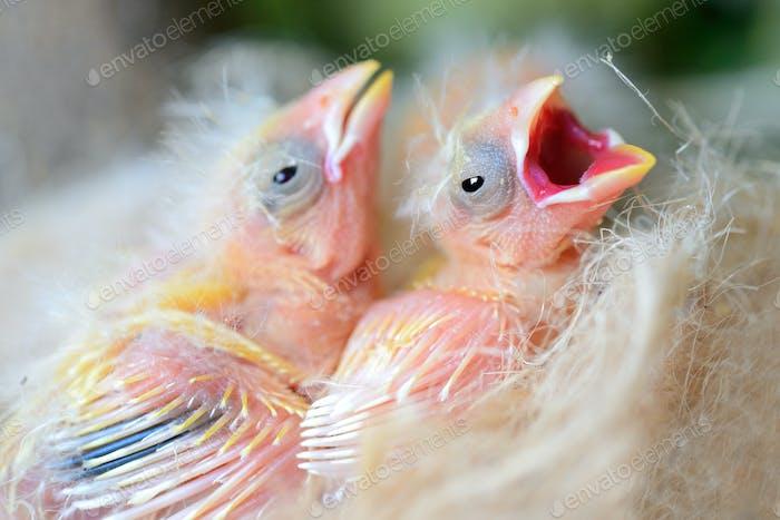 Babyvögel