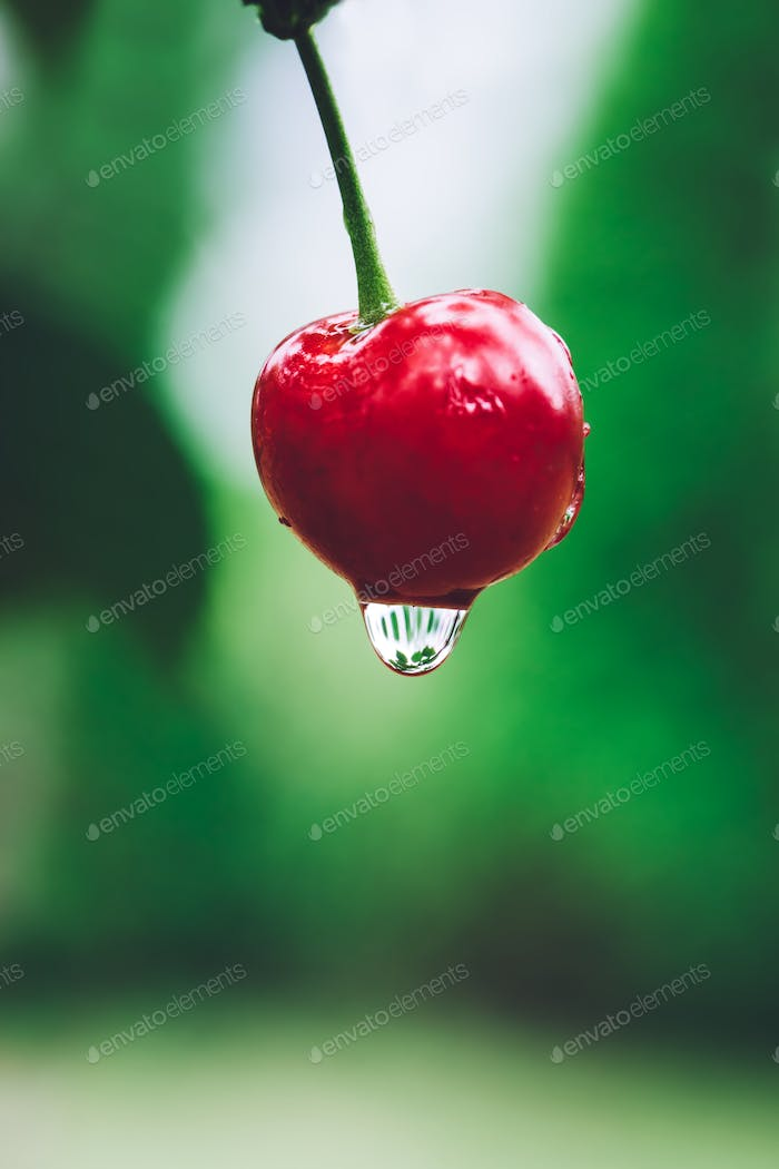 Red cherry with water drop on a green background.
