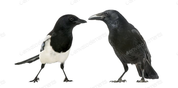 Common Magpie and Carrion Crow facing each other