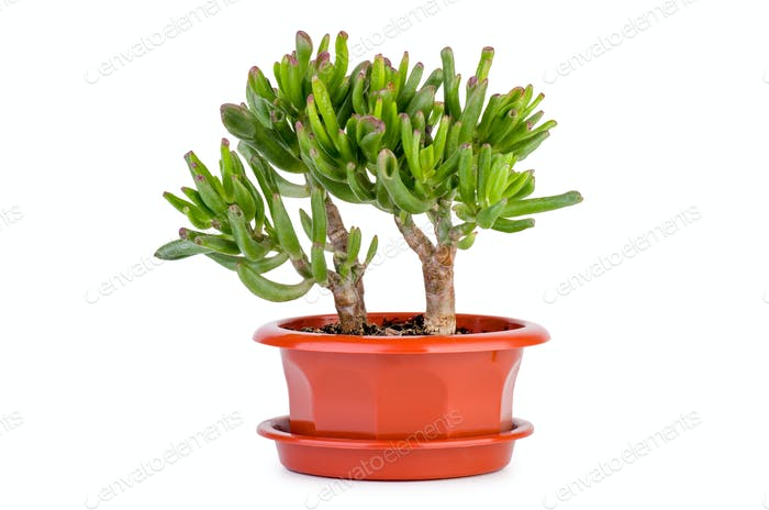 Crassula Gollum or Trumpet (Finger) Jade