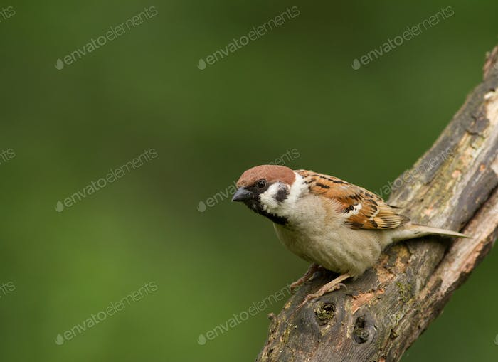 Tree sparrow (Passer montanus) on the branch