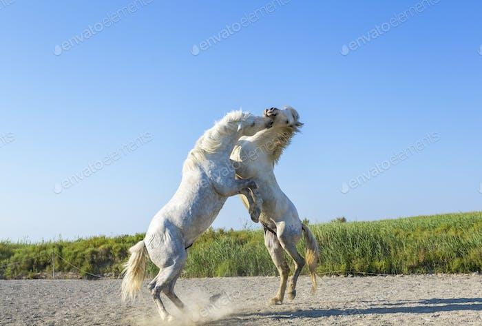 Zwei weiße Hengste, die aufziehen und kämpfen.