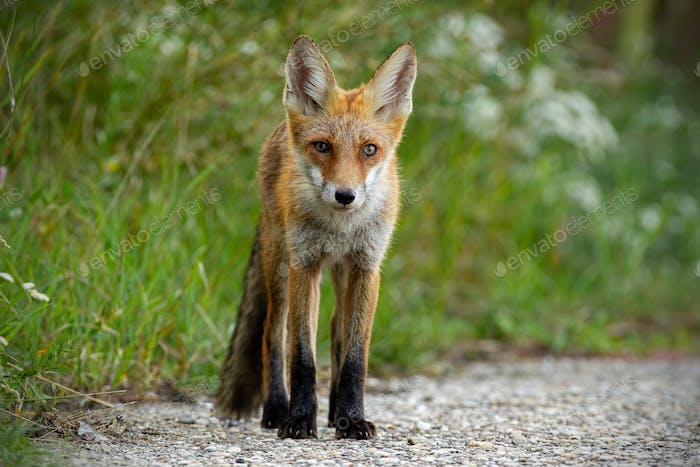 Young red fox standing on gravel roadside in summer