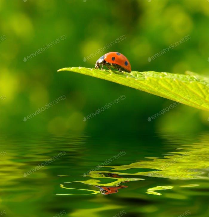 Red ladybug (Coccinella septempunctata) on green leaf