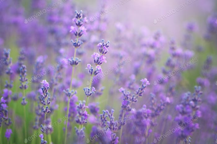 Lavendel Nahaufnahme. Zusammensetzung der Natur,