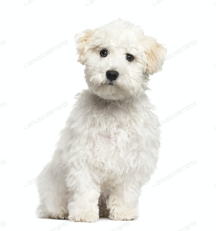 Maltese puppy sitting, 6 months old, isolated on white