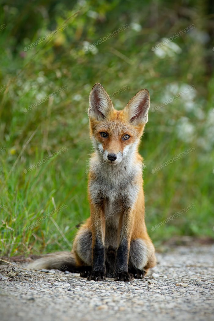 Young red fox sitting on gravel roadside in summer