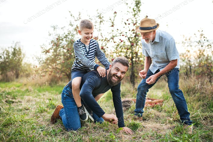 Small boy with father and grandfather in apple orchard in autumn, having fun.