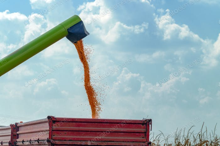 Combine harvester unloader pouring corn grains into tractor carg