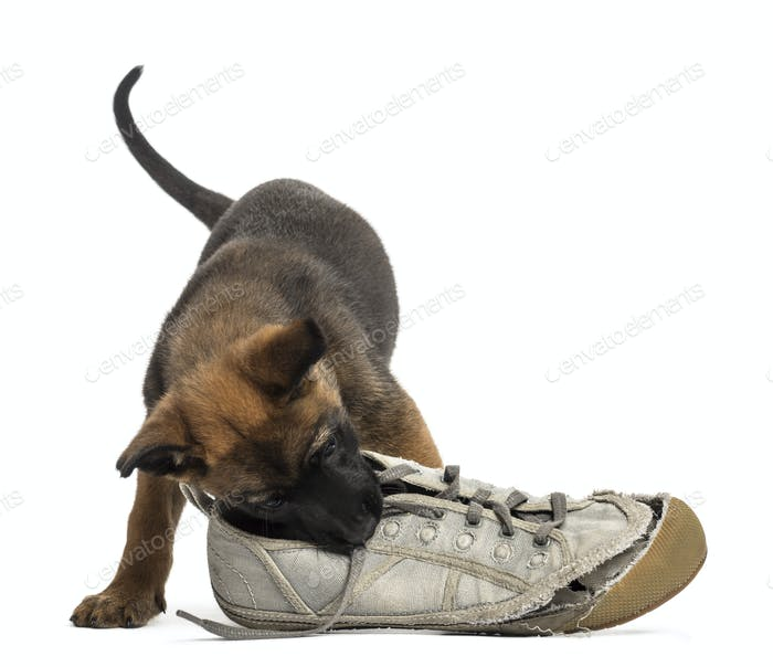 Belgian Shepherd puppy playing with a sneaker against white background