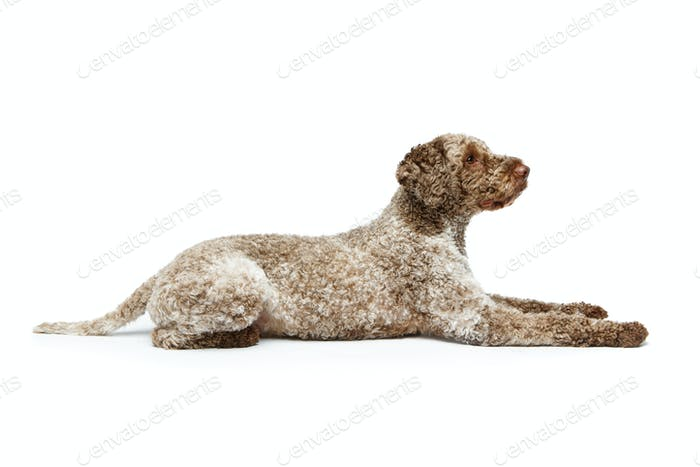 beautiful lagotto romagnolo dog on white background