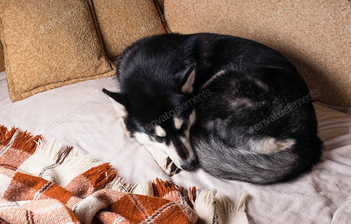 Cute dog sleeping on a bed under a plaid