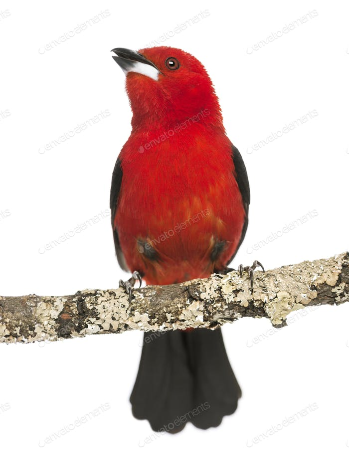 Brazilian Tanager tweeting perched on a branch - Ramphocelus bresilius - isolated on white