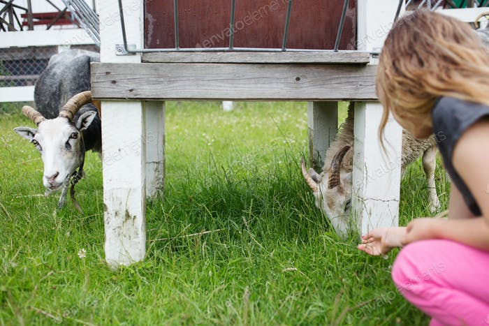 Girl (4-5) feeding goats with grass