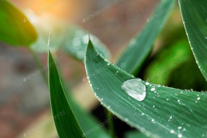 Water drops on leaves in rainy season
