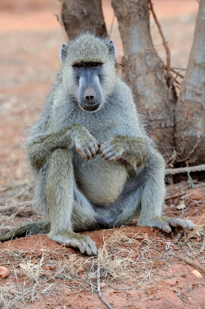 Baboon in National park of Kenya