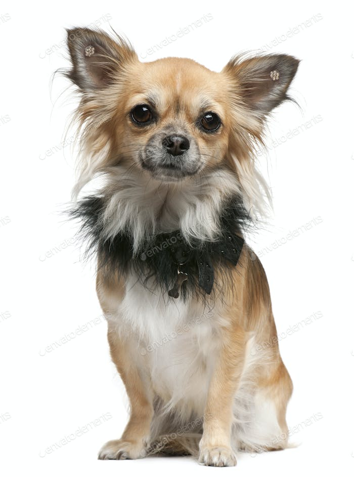 Chihuahua, 16 months old, sitting in front of white background