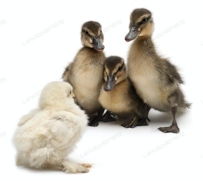 Three Mallards or wild ducks, Anas platyrhynchos, 3 weeks old, facing a chick
