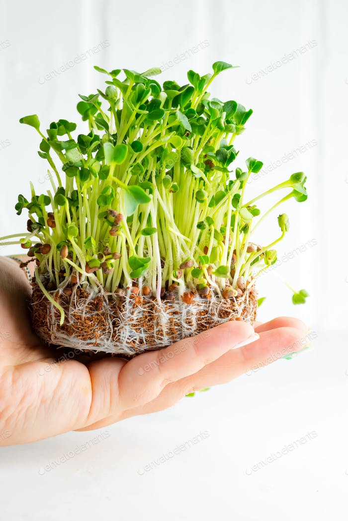 Home grown fresh organic microgreen on a woman's hand against light grey background. Close-up
