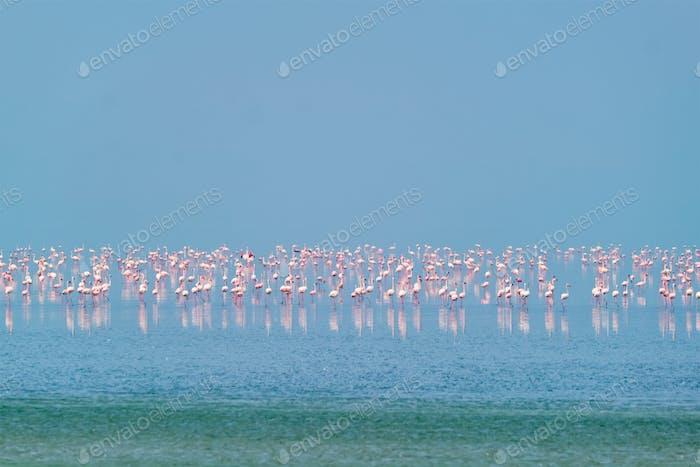 Pink flamingo birds at Sambhar Salt Lake in Rajasthan. India