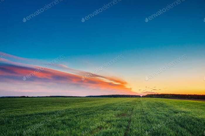 Landscape Of Green Young Wheat In Spring Field Under Scenic Summ