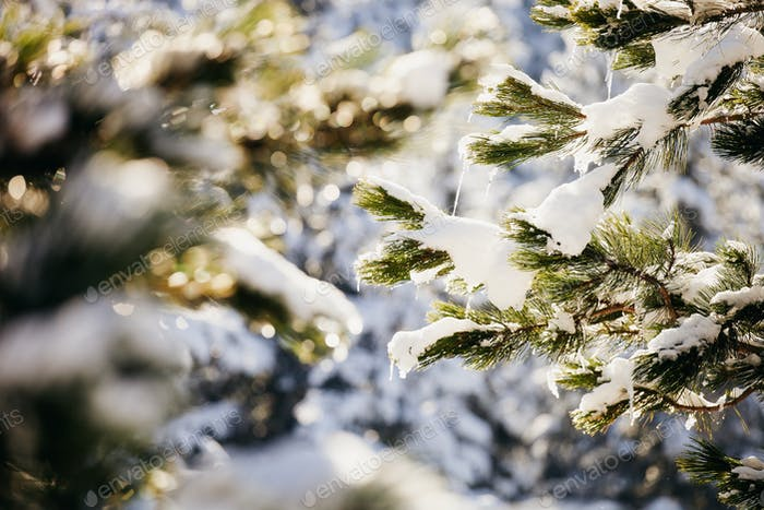 snowy spruce tree with icicles