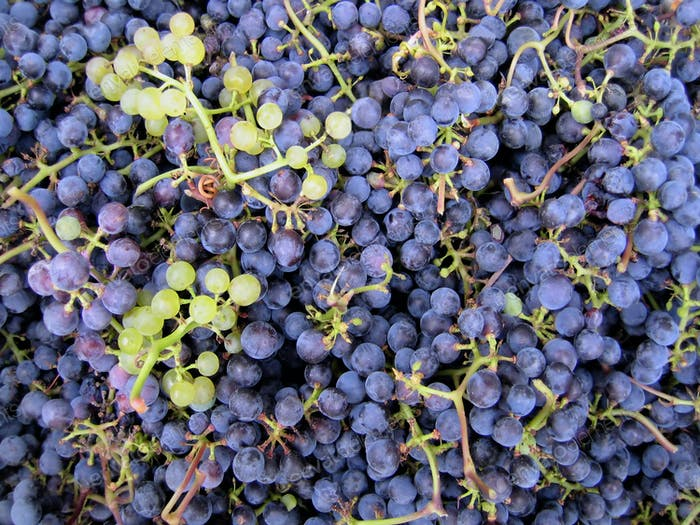 Close-up of grapes clusters