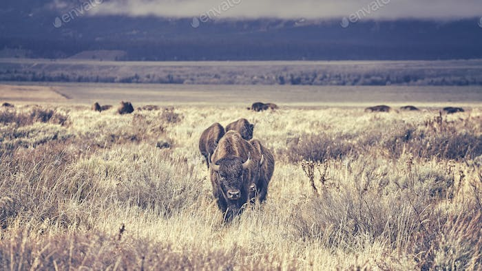 Retro toned herd of American bison grazing in the Grand Teton Na