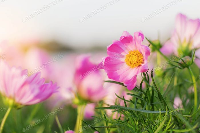 Beauty of cosmos at sunrise
