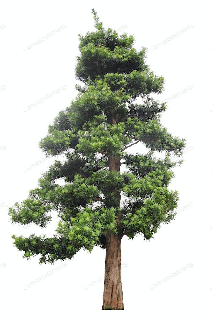 podocarpus isolated on white